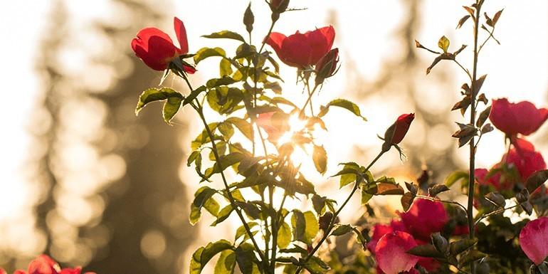 Co zrobić z płatków róży? 5 zastosowań, które zmienią Twoją codzienność